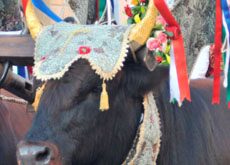 Decorated floats and oxen for the feast of Sant'Antioco